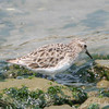 Least Sandpiper basic plumage