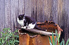 Cat on Rain Barrel, Casey County, Kentucky