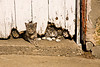 Cats Under Barn Door, Stephenson County, Illinois