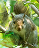 DX4637 Squirrel