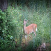 6-7-14- Deer at Mossy Creek
