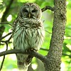 Barred Owl, Again