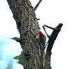 Red-bellied woodpecker back doing what he is supposed to be doing.