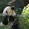 Panda at the San Diego Zoo. You can peek at them via Panda Cam.