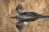 Hooded Merganser,female.