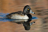 Ringed-necked Duck, male.