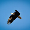 This bald eagle was photographed near Ettrick, Wisconsin.  Note the shadow of the eagles head is captured on his wing.