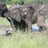 African elephants emerging from the watering hole, Elephant Sanctuary, Nature's Valley, South Africa