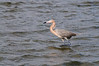 Reddish Egret Wading at East Beach 1