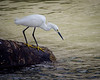 Snowy Egret Takes Aim