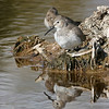 Dunlin Reflection