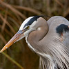 Great Blue Heron at Everglades