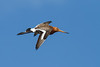 Black-tailed Godwit in flight