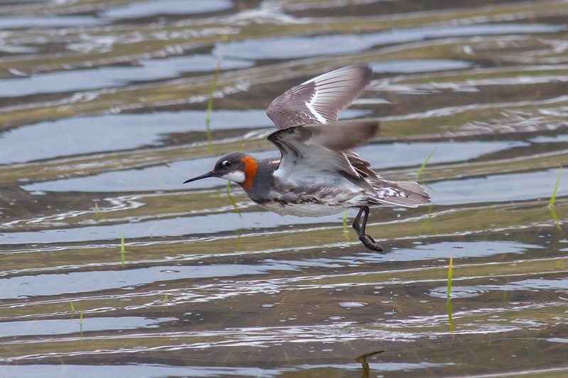 Red-necked Phalarope in flight