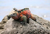 "MARINE IGUANA Floreana Island  ""Dresssed up and trolling for ladies"""