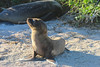 "SEA LION PUP 1 Lobos Island  ""Small but proud"""