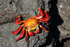 SALLY LIGHTFOOT CRAB James Bay, Santiago Island