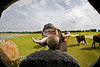 Being Greeted by the Watusi Cattle - Global Wildlife Center, Louisiana