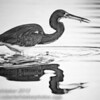 Tricolored Heron with minnow