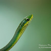 Rough Green Snake. Lower Suwannee National Wildlife Refuge, Levy County, Florida. 2013.