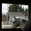Misty, a boarder at Harmony Horse Stables in Littleton, looks out the stall window on a rainy evening. (SUN/Julia Malakie)