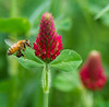 Honeybee Approaching Red Clover