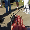 June 29, 2013.  Long-horned beetle (in the genus Monochamus).  Hobart Bluff, Cascade-Siskiyou NM, Oregon.