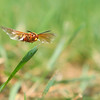 Flying Wasp
