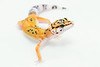 leopard geckos smugmug (12 of 17)