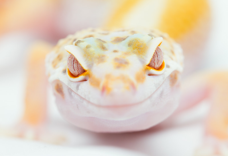 leopard geckos smugmug (2 of 17)