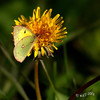 Fall Butterfly On Dandylion