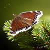 Butterfly Resting on Pine Tree