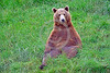 Grizzly Bear 00002 A large grizzly bear sits in a comfortable comical position in lush green grass wild animal picture by Peter J Mancus
