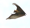 flying fox 0086