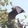 Flying fox 0081