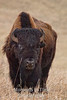 bison walking forward