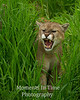 Mountain lion (Puma concolor)