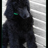 Shadow, our new male standard poodle puppy at 10 weeks of age.  Our new standard poodle puppy, Shadow.  Breeder is Boshi Standard Poodles, Palatka, FL.  Shadows is 10 weeks old in this picture.  Born 12/18/10, 14 oz., 3rd in birthorder.