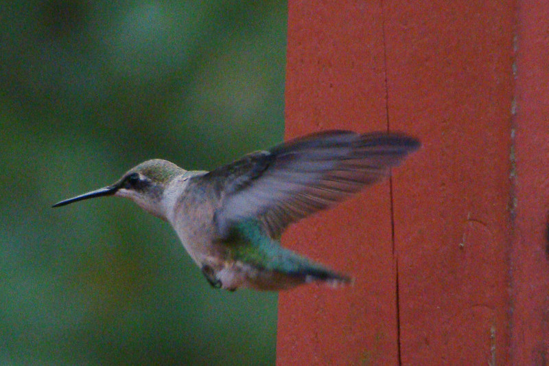 RUBY-THROATED HUMMINGBIRD (f) - Camden area - Sept. 2012