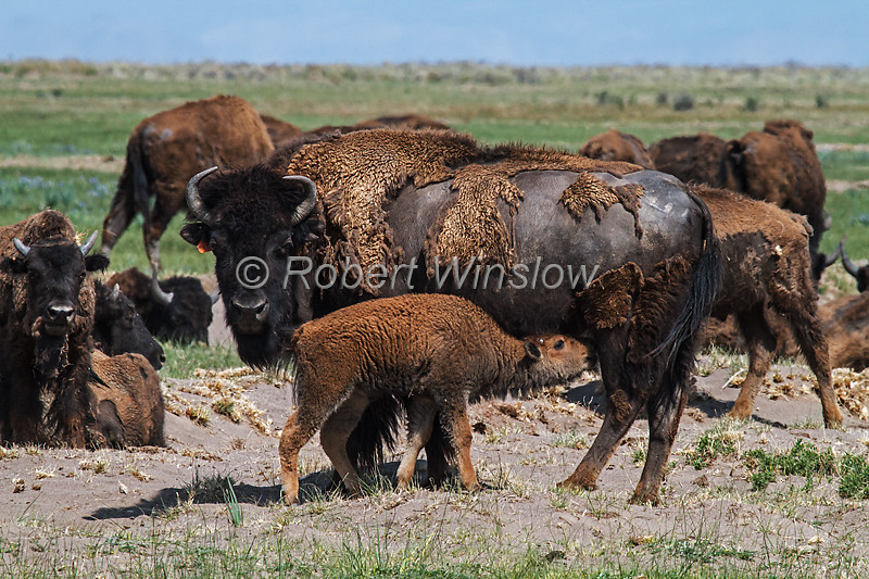 Baby Bison, Bison bison, Zapata Ranch, Great Sand Dunes National Park and Preserve in background, San Luis Valley, Colorado, USA, North America