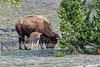Bison or American Buffalo, Bison bison, Mother and Baby, Yellowstone National Park, Wyoming, United States, North America