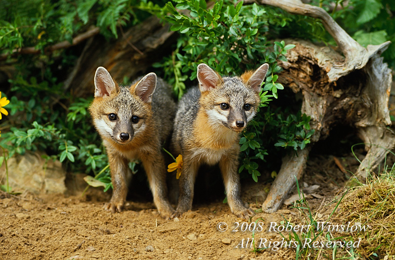 Island gray fox pup