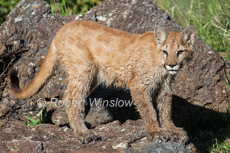 Six and half month old, Mountain Lion, Kitten, Felis concolor, with wet legs, controlled conditions
