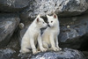Two Arctic Wolf Pups, Canis lupus arctos, Controlled Conditions
