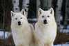 Two Arctic Wolves, Canis lupus arctos, Controlled Conditions, Descendents from Ellesmere Island, Northwest Territories, Canada