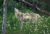 Gray Wolf, Canis lupus, Howling, Controlled Conditions