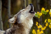 Gray Wolf, Canis lupus, Autumn, Controlled Conditions