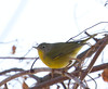 Nashville Warbler (photo for ID)<br /> Belle Haven, north of picnic area<br /> 1-27-13
