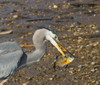 Great Blue Heron with afternoon snack<br /> Hunting Creek Bridge, N of Dyke Marsh<br /> 1-27-13