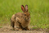 Snowshoe Hare in summer coat